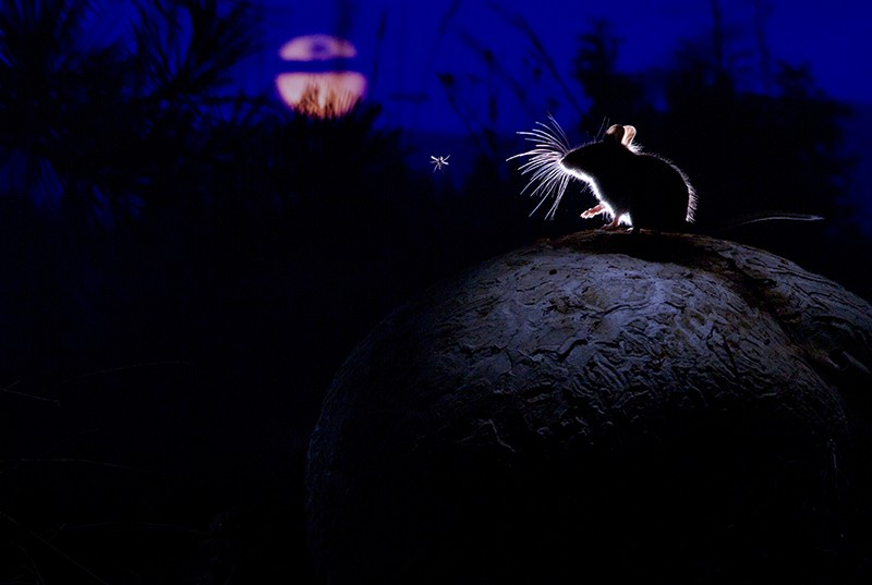 A deer mouse sits on giant puffball mushroom watching a mosquito in the moonlight.