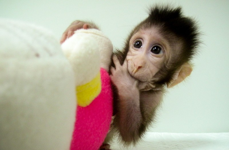 A cloned macaque cuddles a soft toy.