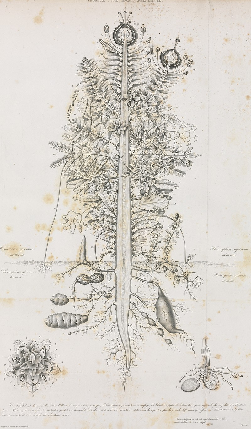An illustration of a composite plant from 1837.