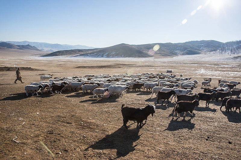Goatherder in Mongolia