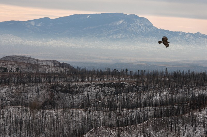 Hawk flying over burnt landscape in New Mexico