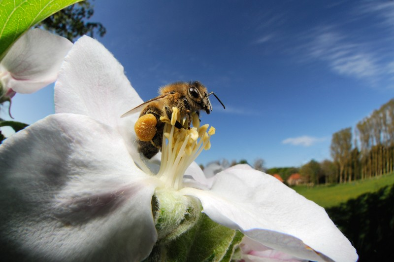Honey bee (Apis mellifera) collecting pollen from the flower of an apple tree