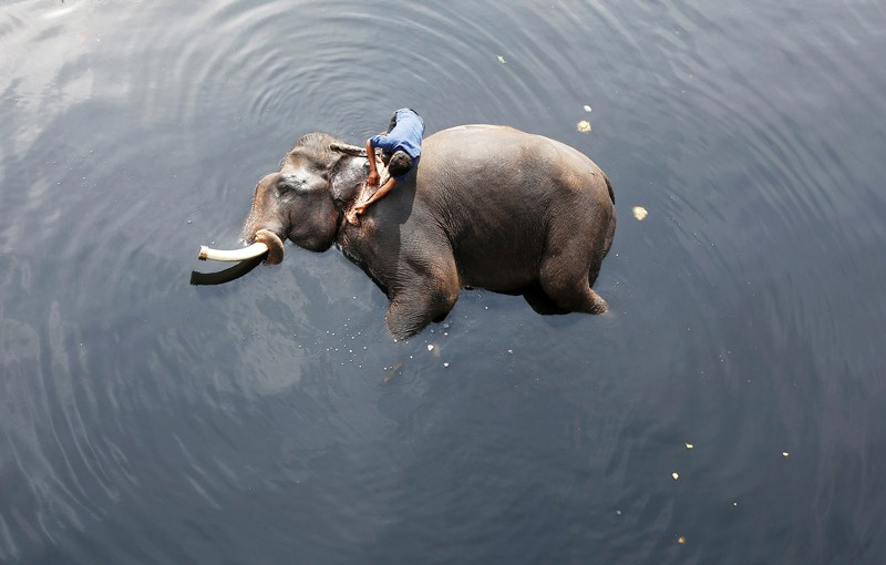 A mahout bathing his elephant in a river