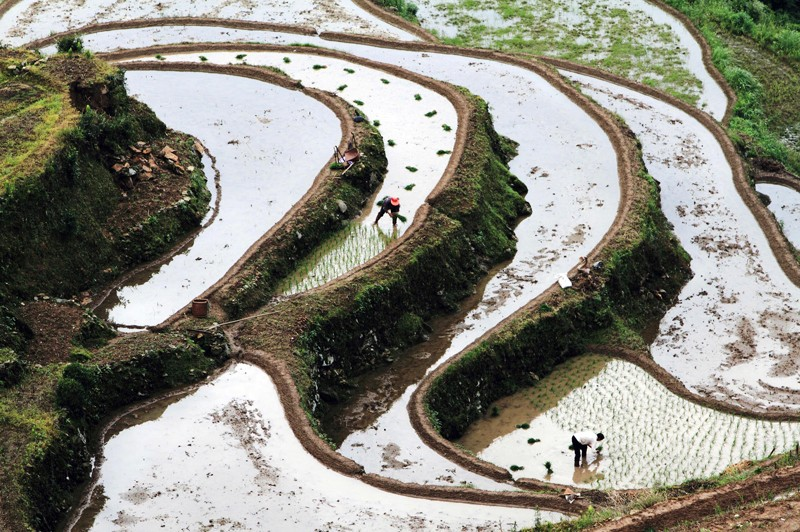Farmers plant rice in the terrace in China