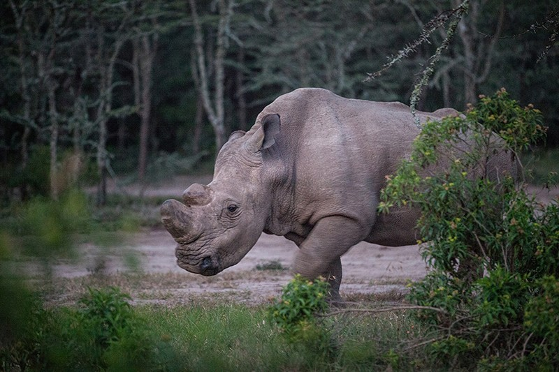 Sudan the white rhino in 2015