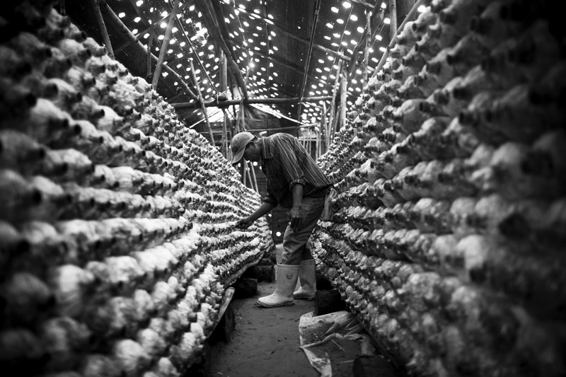 A worker inspects mushrooms growing inside a greenhouse