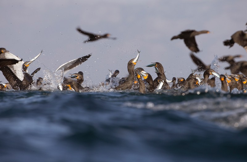 Cape cormorants feeding on sardines