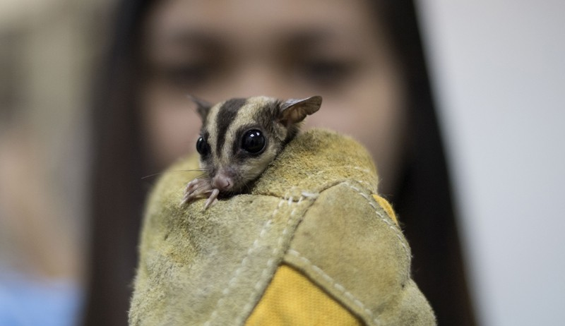 Sugar glider held in a gloved hand