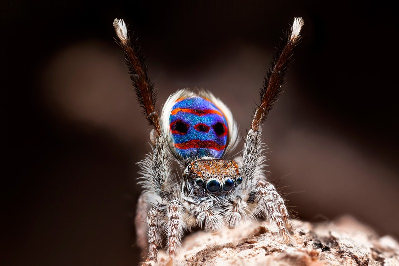 Peacock spider performing a mating dance