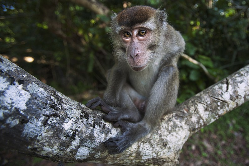 Long-tailed macaque staring at the camera curiously in Bako National Park, Borneo, Malaysia.