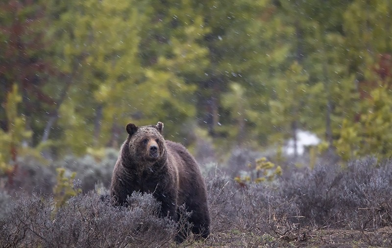 A grizzly bear, Ursus arctos, during a spring snow storm in Yellowstone National Park.