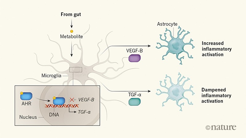 Brain inflammatory cascade controlled by gut-derived molecules