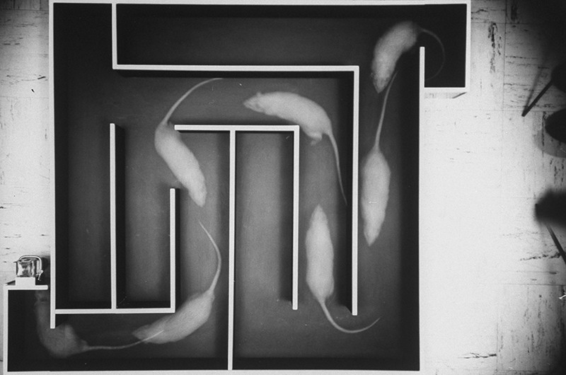 Multiple exposure black and white photograph of a rat running a trial and error experiment in a maze.