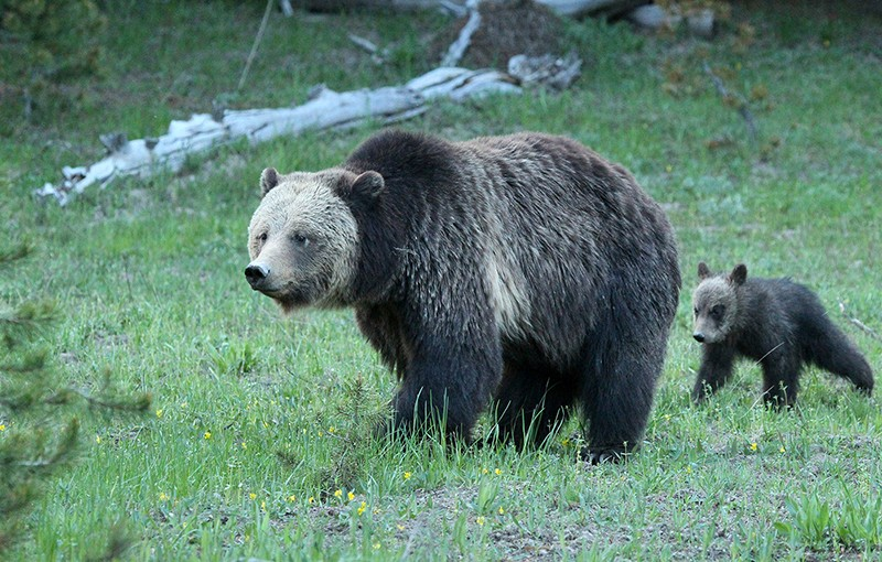 A mother grizzly and her cub