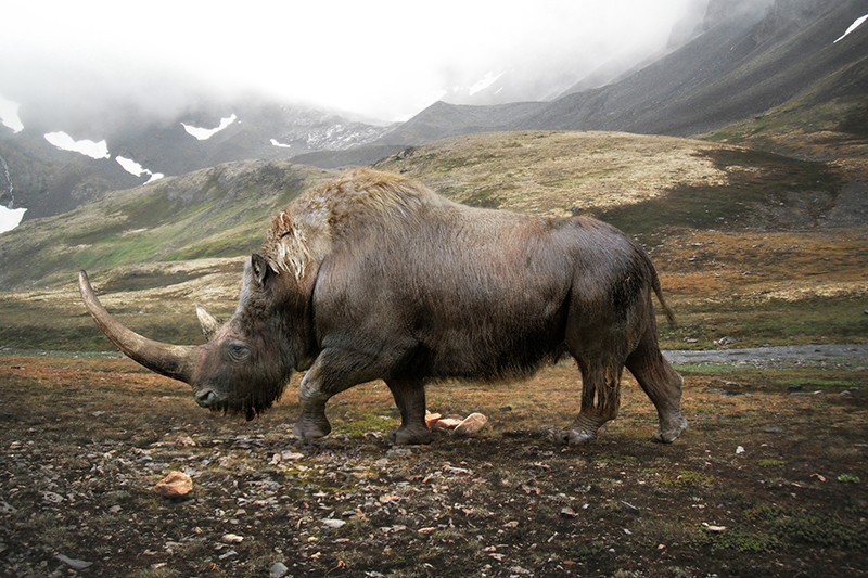 Illustration of the extinct woolly rhinoceros (Coelodonta antiquitati) in a tundra scene.