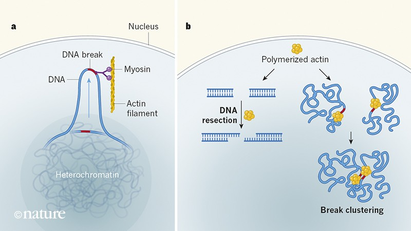 Diagram of how nuclear actin polymerizes to preserve genome stability