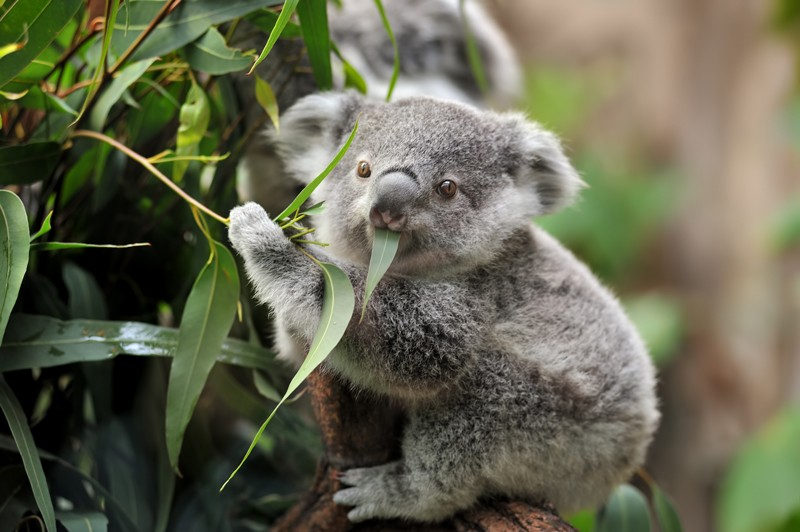 Young koala eating eucalyptus leaves