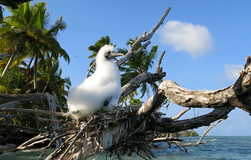 Booby chick on a nest above a coral-reef lagoon in the Chagos Archipelago