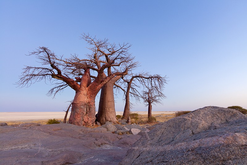 Baobab trees standing against a dusk sky in front of the flat Makgadikgadi pans, Botswana.