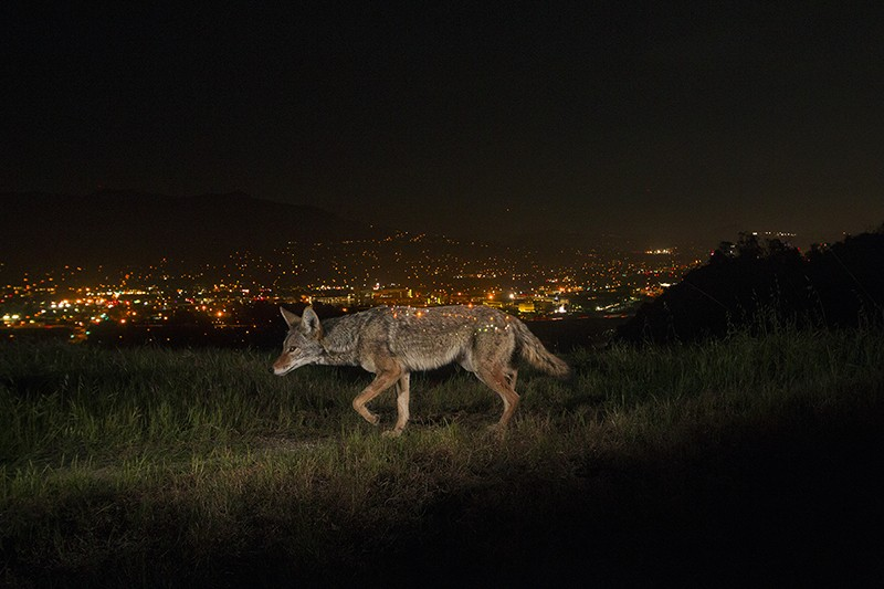 A remote camera captures a coyote walking in a park above a twinkling Los Angeles at night.