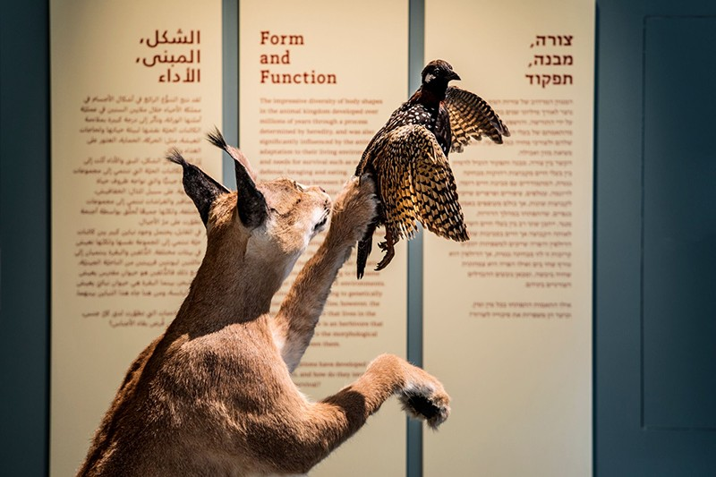 A caracal specimen reaches to delicately capture a black francolin specimen.