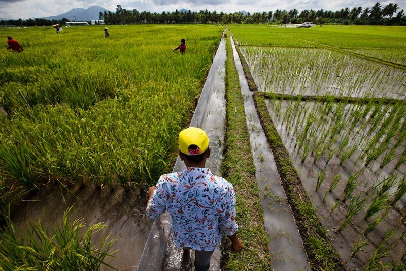 A man in a yellow hat and patterned shirt stands in a partially flooded rice field.