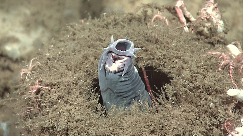 A hagfish rears upwards from a sponge (underwater photograph)