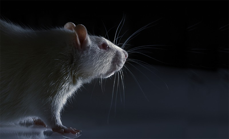 A laboratory rat stands on a flat reflective surface