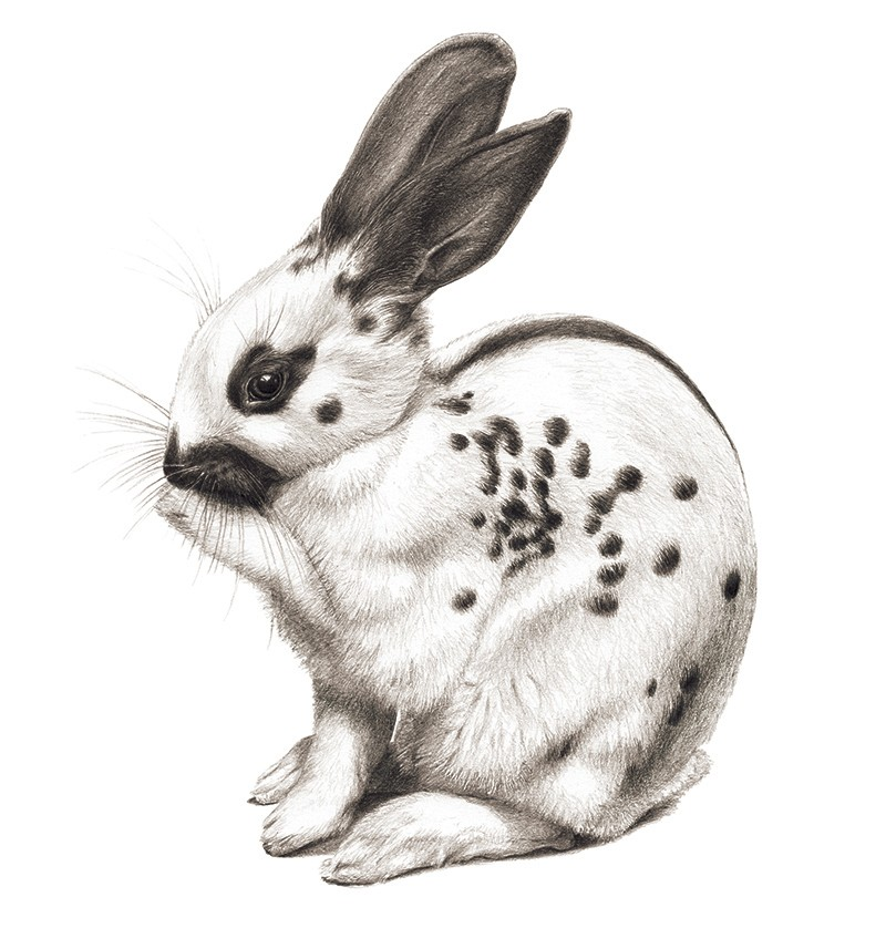 A black and white illustration of a white rabbit with a spotted coat, 'pointed' colouring and a striped coat at the back