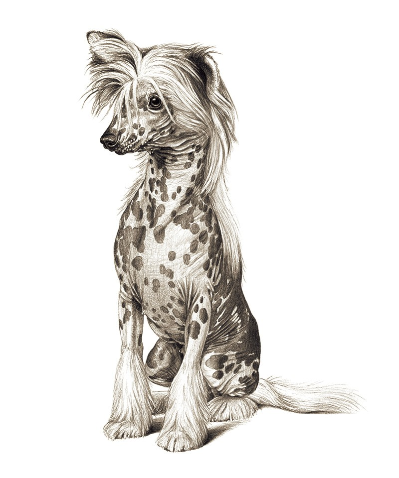 A black and white sketched illustration of a Chinese Crested dog with spotted skin and a furry mane and feet.
