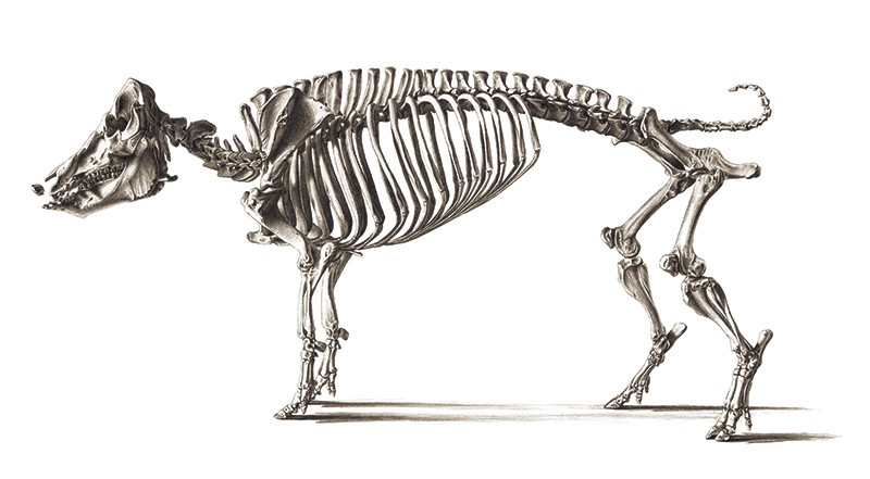 A black and white sketched illustration of a standing pig skeleton with 21 vertebrae.