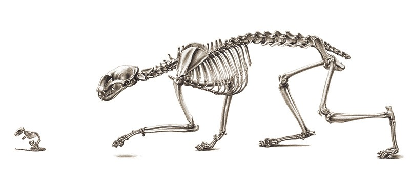 A black and white sketched illustration of the skeleton of a manx cat stalking ta skeletal mouse.