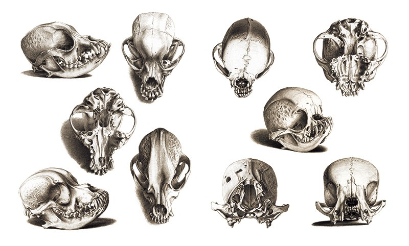 Black and white illustrations of spaniel skulls, with longer canine looking skulls at left and extremely rounded skulls at right