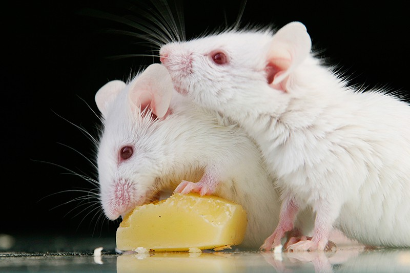 Two white mice eating cheese on a reflective surface with a black background