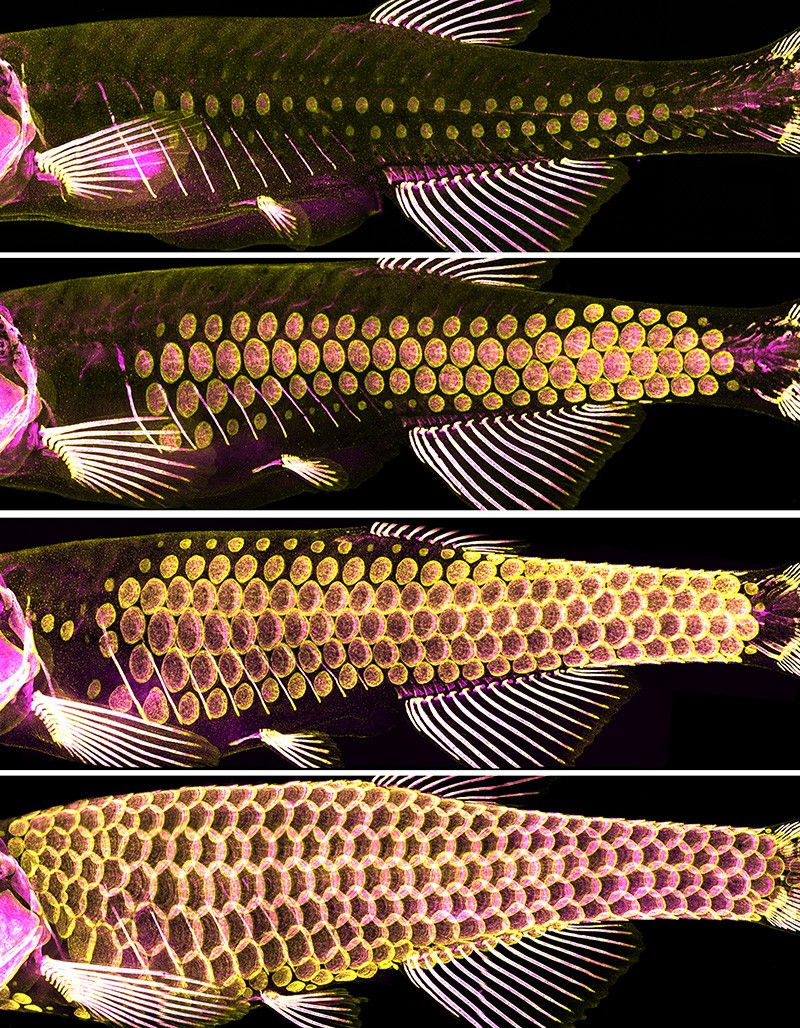 Bright yellow (cells) and magenta (bony material) lights on black making up an image of a developing zebrafish.