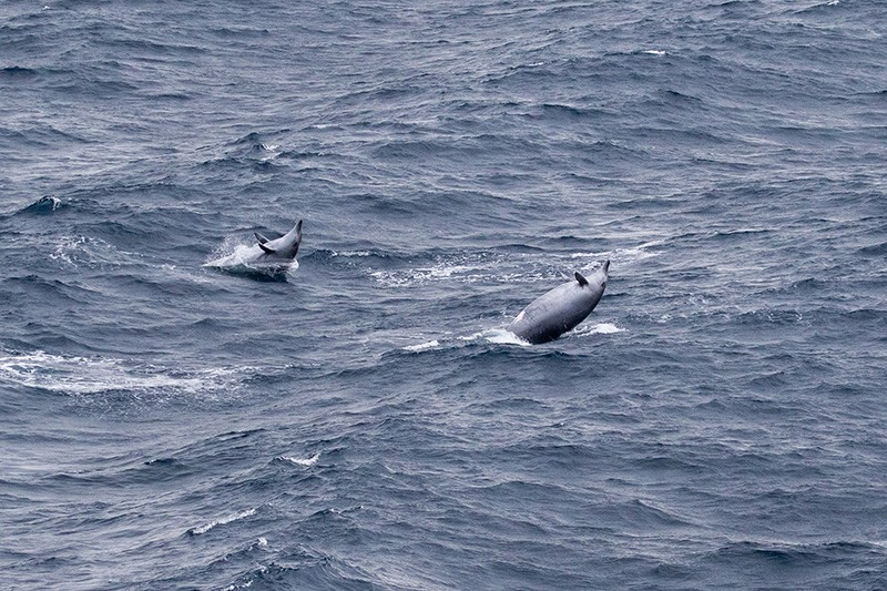 Two beaked whales beaching in a choppy grey sea
