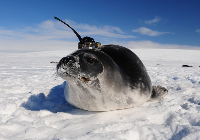 Weddel seal with sensor attached to its head
