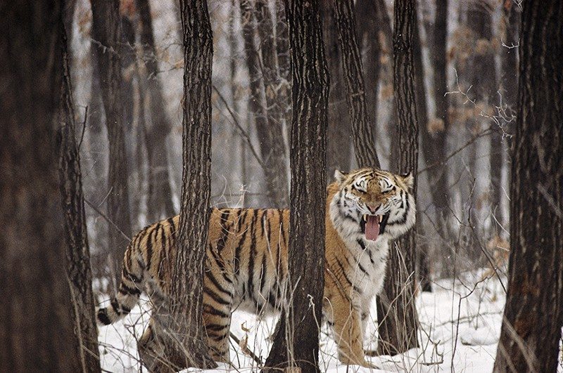 A Siberian tiger stands in a snow-covered forest