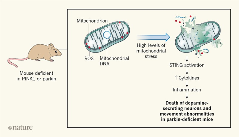 Elusive mitochondrial connection to inflammation uncovered