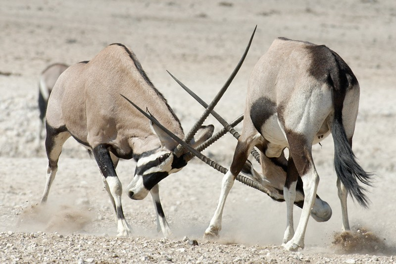 Gemsbok males fighting with horns