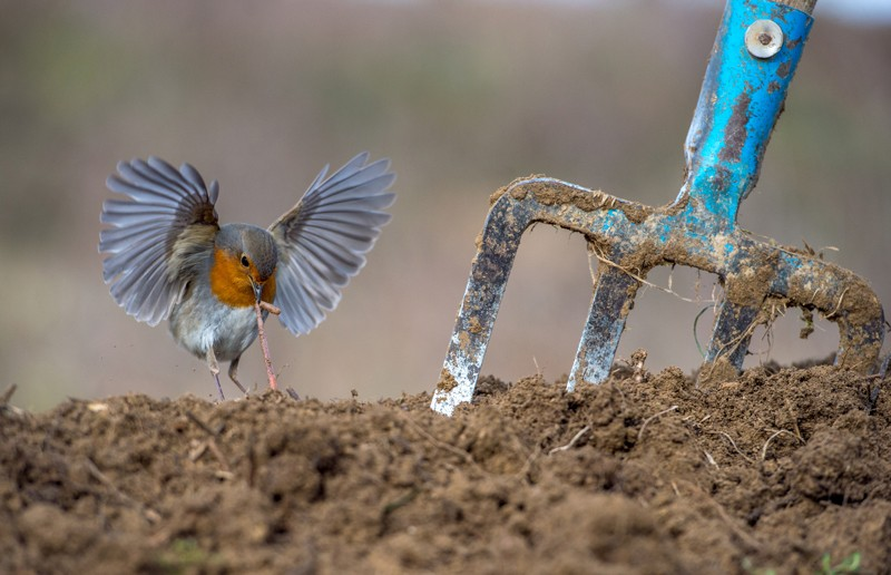 A robin pulls a worm from the earth