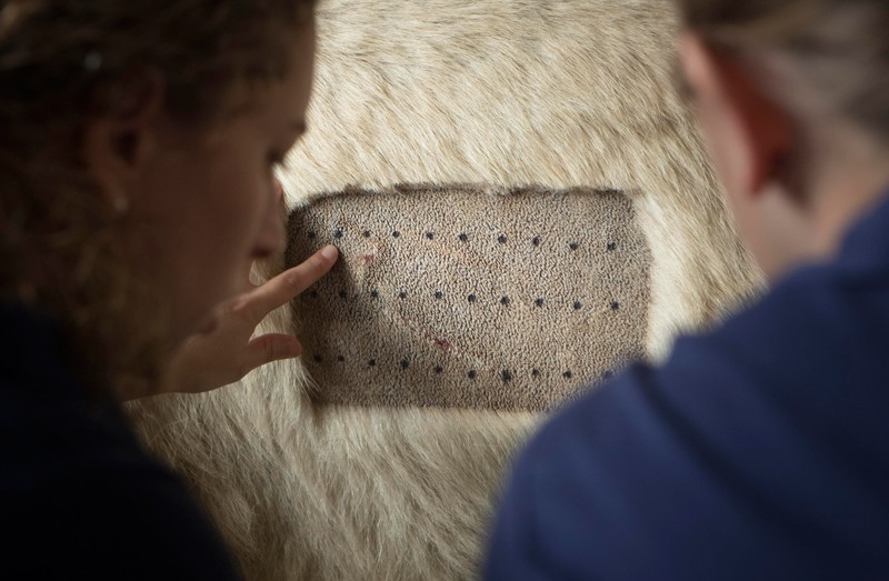 Allergy test patch on a polar bear