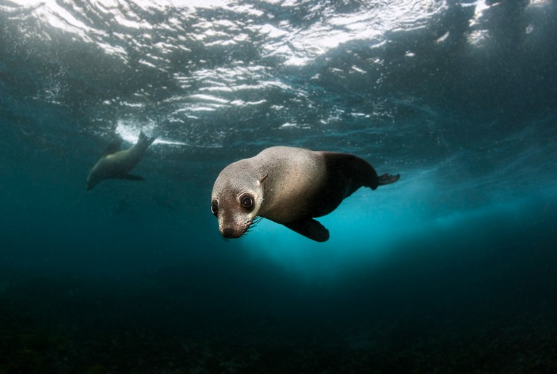 An Australian fur seal pup in NSW gazes soulfully towards the diver and camera