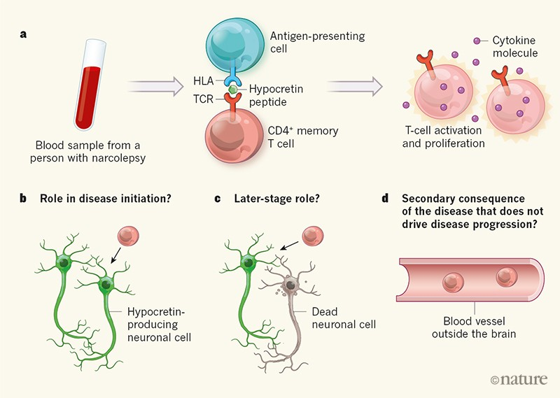 Put to sleep by immune cells