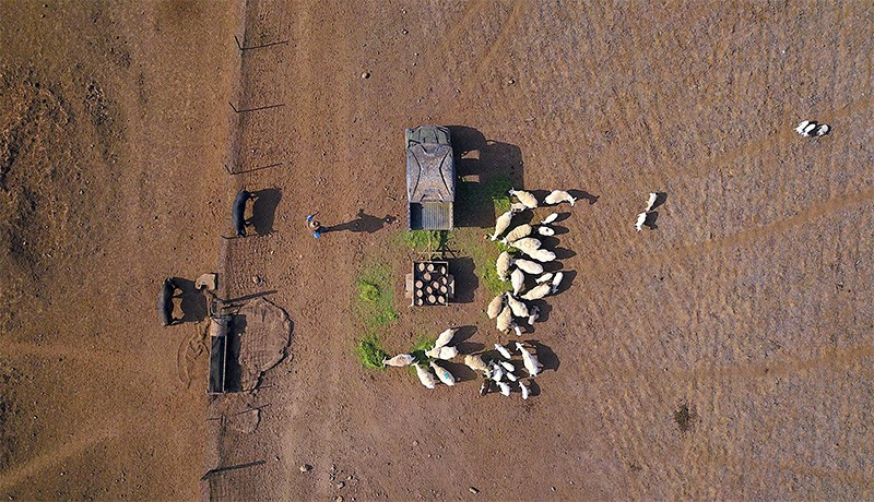 Aerial photo of a farmer (l) keeping a pig (l) away from his flock of sheep (c) as he feeds them on a drought effected property