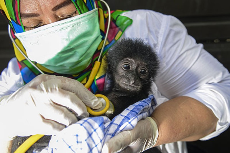 A veterinarian tends to a rescued baby black gibbon