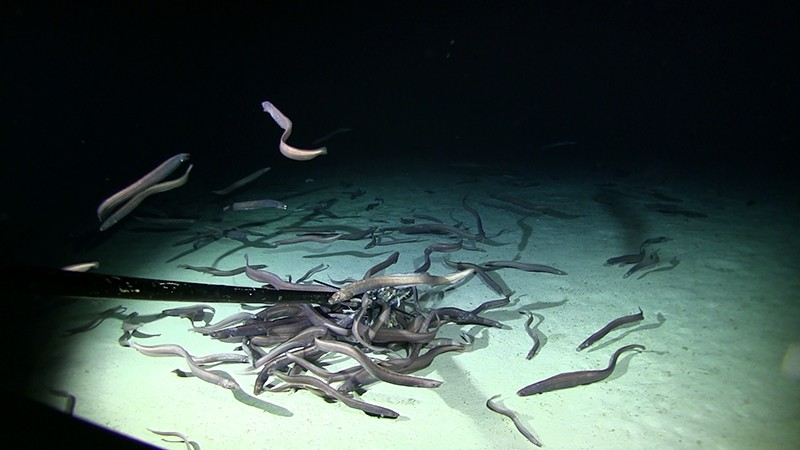 Many grey eels congregate around a baited video camera on the sea floor.