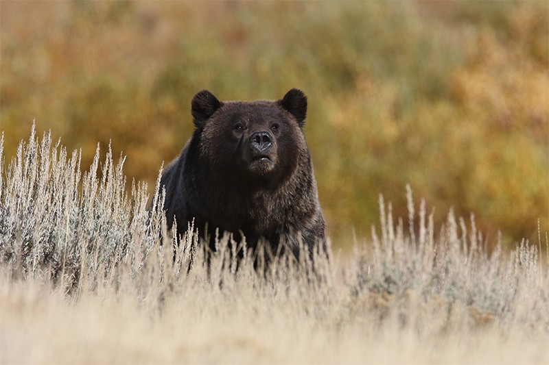 A grizzly bear looks up from grasses at Lamar Valley, Yellowstone National Park