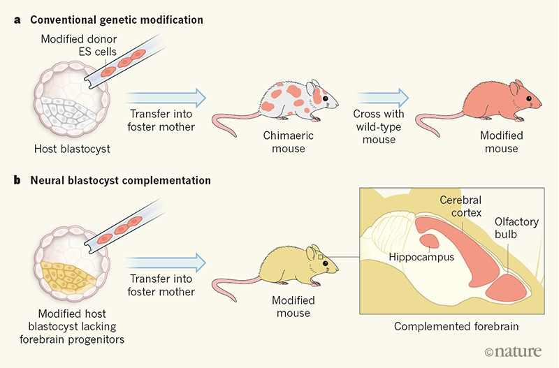 Diagram of two ways to generate genetically modified mice.