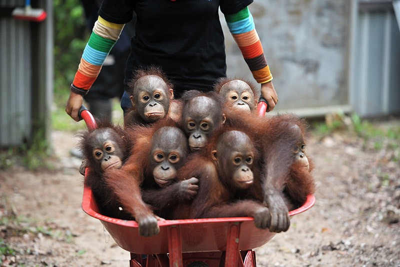 Young orangutan in a wheelbarrow at the International Animal Rescue Orangutan Safety and Conservation Center in West Kalimantan